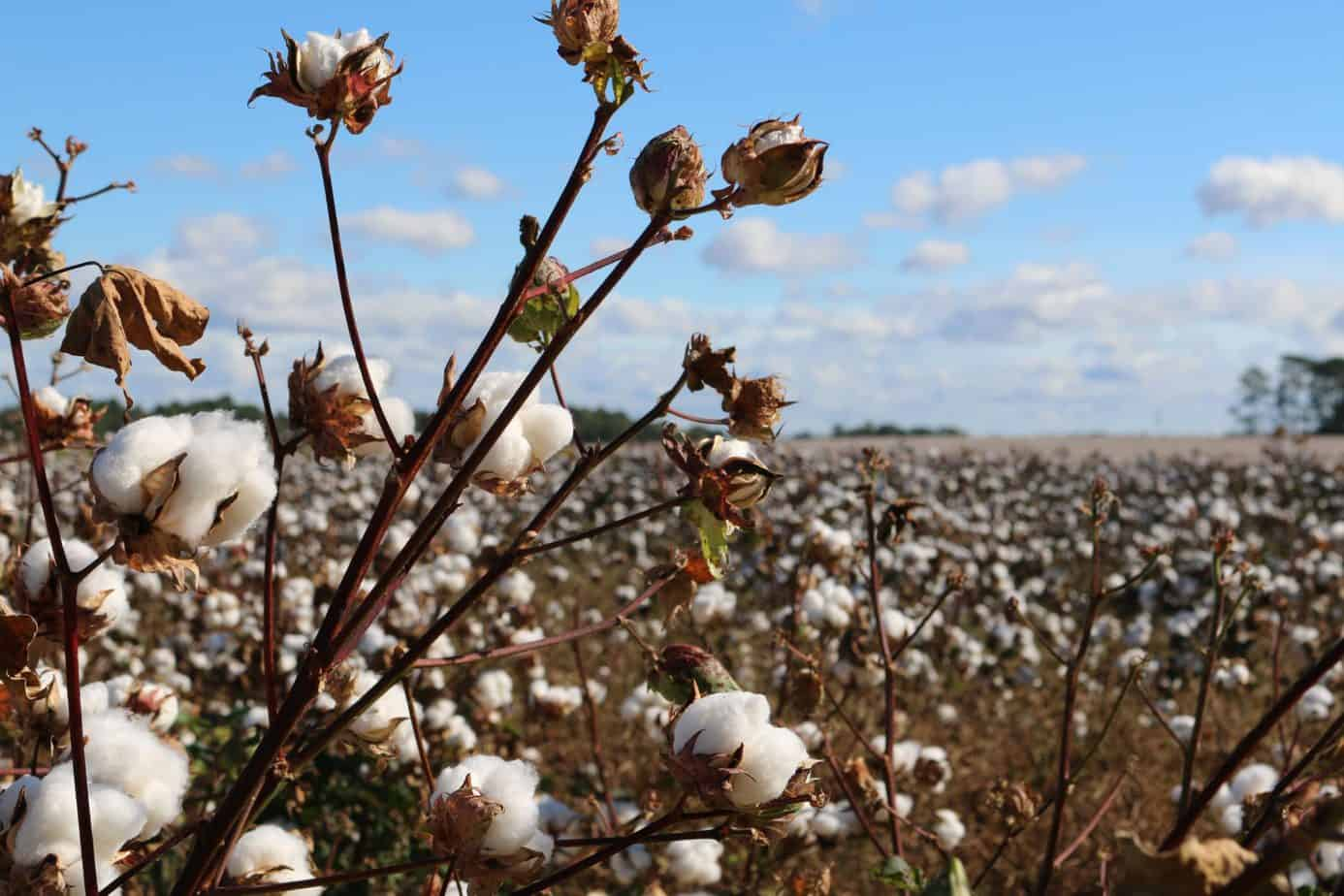 cotton alternatives